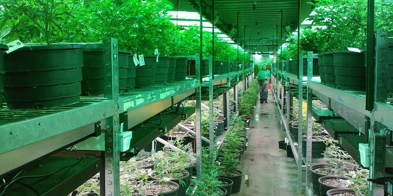 Ajay-MarijuanaChicago